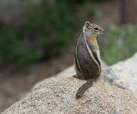 Golden-mantled Ground Squirrel on a Rock stock photo