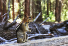 Golden-Mantled Ground Squirrel in Sequoia forest Royalty Free Stock Photos