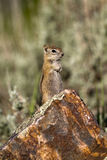Golden-mantled Ground Squirrel, Spermophilus later Stock Image