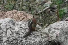 Golden-Mantled ground squirrel Spermophilus lateralis. A Golden-Mantled ground squirrel Spermophilus lateralis in Colorado Stock Image