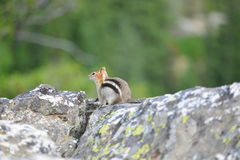 Golden-mantled ground squirrel is a type of ground squirrel foun Royalty Free Stock Image