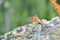 Golden-mantled ground squirrel is a type of ground squirrel foun Royalty Free Stock Images