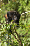 Golden-mantled Howling Monkey Royalty Free Stock Photo
