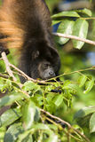 Golden-mantled Howling Monkey Royalty Free Stock Photos