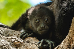 Golden mantled howling monkey Royalty Free Stock Photography