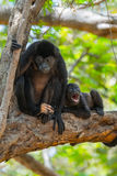 Golden mantled howling monkeys Royalty Free Stock Photo