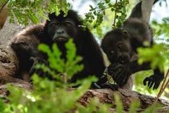 Golden mantled howling monkeys stock image