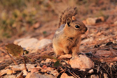 Golden-Mantled Squirrel Stock Photography