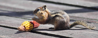 A Golden Mantled Squirrel Eating Corn on a Deck. A Golden Mantled Squirrel Eating an Ear of Corn on a Wooden Deck Stock Photos