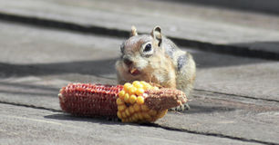 A Golden Mantled Squirrel Eating Corn on a Deck. A Golden Mantled Squirrel Eating an Ear of Corn on a Wooden Deck Stock Image