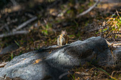 Golden mantled squirrel on the ground Stock Image