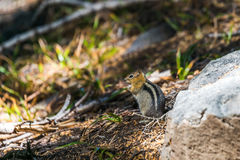 Golden mantled squirrel on the ground Royalty Free Stock Photography