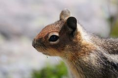 Golden Mantled Squirrel Royalty Free Stock Photography