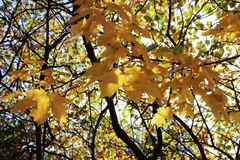 Golden maple branches, autumn in full swing stock photo
