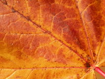 Golden maple leaf Stock Photography