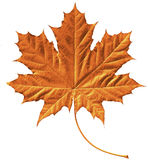 Golden maple leaf Royalty Free Stock Images