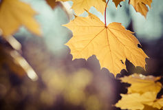Golden maple leaf backlit by sun Stock Photo