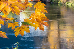 Golden Maple Leaf Branch. Close up of branch with golden autumn maple leaves hanging over river with reflections of the fall foliage royalty free stock photo