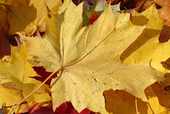 Golden maple leaf on the ground in sunlight Royalty Free Stock Photography