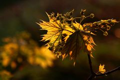 Golden maple leaf at sunset. Golden maple leaf in the forest at sunset, other leaves in the background. This is my collection of leaves in spring and autumn Royalty Free Stock Photo
