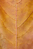 Golden maple leaf texture. Texture of brown golden maple leaf in autumn. Vertical close up Stock Images