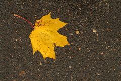 Golden maple leaf on wet asphalt. Stock Photo