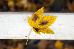 Golden maple leaf on white painted beam in forest Royalty Free Stock Images