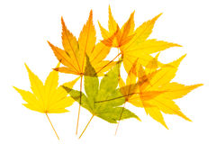 Golden Maple Leaves Stock Photos