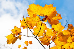 Golden maple leaves. Golden leaves of autumn and sky Stock Photography