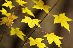 The golden maple leaves Royalty Free Stock Photography