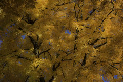 Golden Maple Leaves in Autumn Royalty Free Stock Image