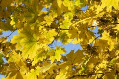Golden maple leaves on a blue background. stock photography