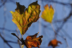 Golden maple leaves and blue sky in Autumn. Golden maple tree and blue sky in Autumn season with heart shape dried leaf Royalty Free Stock Photography
