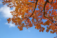 Golden Maple Leaves and Blue Sky.  Stock Image