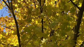 Golden maple leaves on a branch swaying in the wind. Day stock video footage