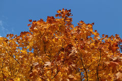 Golden maple leaves on the branches against blue sky Stock Image