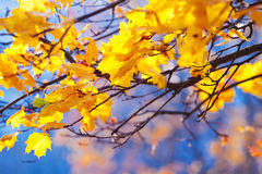 Golden maple leaves on the branches against the blue sky Royalty Free Stock Photography
