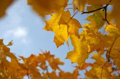 Golden maple leaves in fall Royalty Free Stock Images