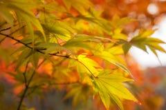Golden Maple Leaves at Koko-en Garden in Himeji, Japan. Golden Maple Leaves on a blurred autumn foliage background at Koko-en Garden in Himeji, Japan stock photography