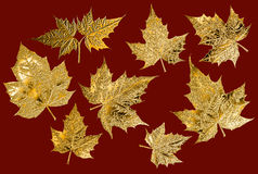 Golden maple leaves Royalty Free Stock Image