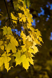 Golden maple leaves in sunlight. Royalty Free Stock Photos