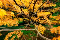 Golden Maple leaves and tree branches royalty free stock images