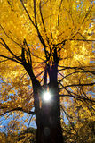 Golden maple tree. In the fall back lit by sun Stock Image
