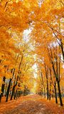 Golden maple tree alley in the autumn campus of Moscow universit stock photos