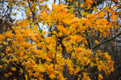 Golden maple tree in Autumn Stock Image