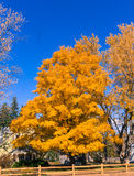 Golden Maple tree. A Maple tree in brilliant golden color Royalty Free Stock Photography