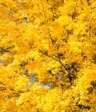 Golden Maple tree Royalty Free Stock Photos