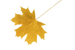 Golden maple tree leaf Stock Photo