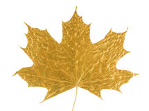 Golden maple tree leaf Royalty Free Stock Image
