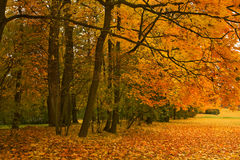 Golden maple trees Royalty Free Stock Images
